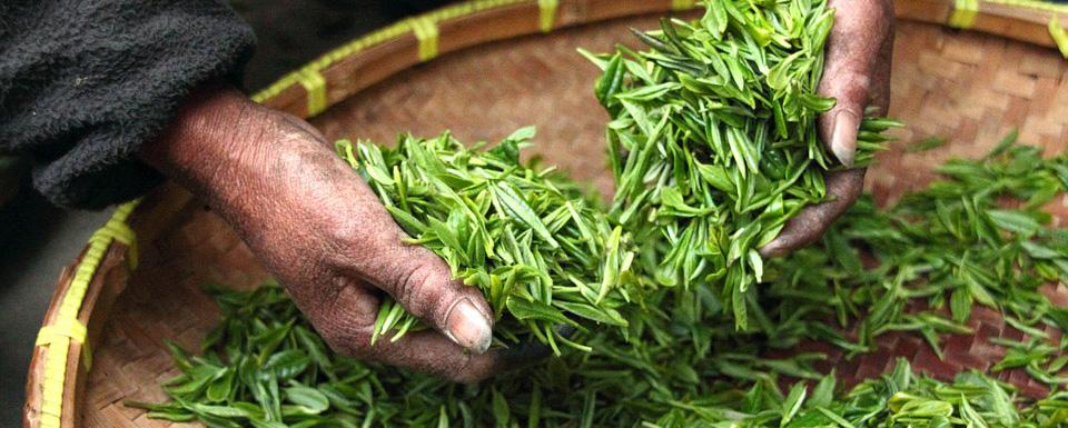 Récolte thé bio